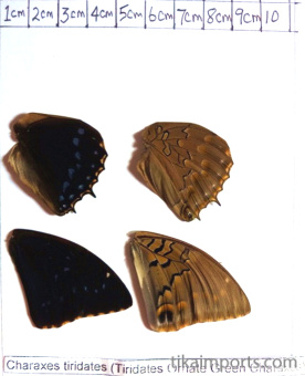 full forewing and hindwing view of Charaxes tiridates specimen