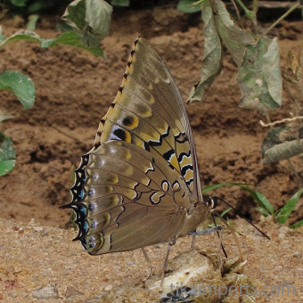 photograph of a live Charaxes tiridates butterfly