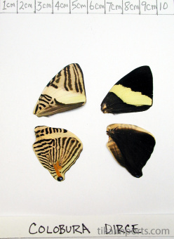 full forewing and hindwing view of Colobura dirce specimen