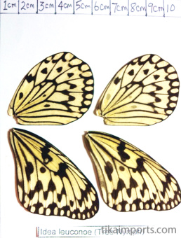 full forewing and hindwing view of Idea leuconoe specimen