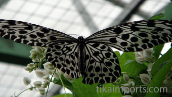 Tree Nymph in-flight in Penang Butterfly Farm