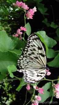 Tree Nymph alighting a flower in Penang Butterfly Farm