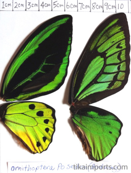 full forewing and hindwing view of Ornithoptera priamus poseidon specimen