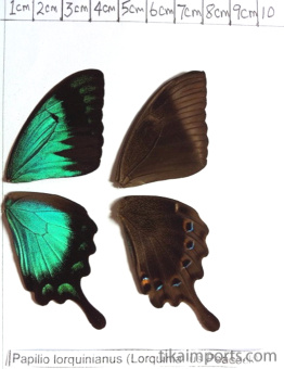 full forewing and hindwing view of Papilio anchisiades specimen