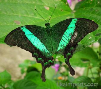 Papilio lorquinianus (Sea Green Swallowtail)