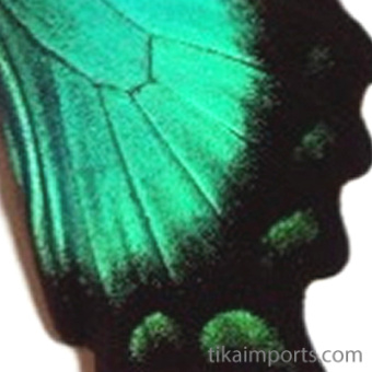 closeup, the front of a hindwing of an Papilio lorquinianus butterfly