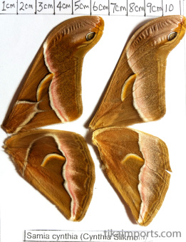 full forewing and hindwing view of Samia cynthia specimen