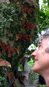 Watching the Samia cynthia Silk Moth at Penang Butterfly Farm