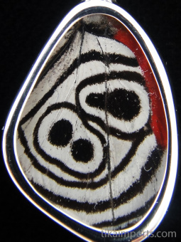 """Closeup of Tiny """"88"""" (Diaethria neglecta) Shimmerwing pendant with butterfly set in sterling silver"""