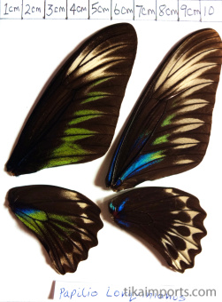 full forewing and hindwing view of Trogonoptera brookiana specimen