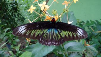 Trogonoptera brookiana (Raja Brooke's Birdwing) Penang Butterfly Farm