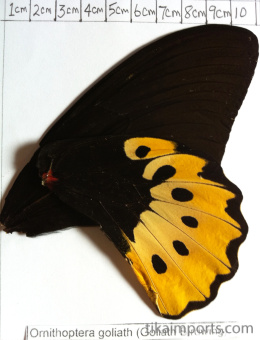 full forewing and hindwing view of Troides helena antileuca specimen