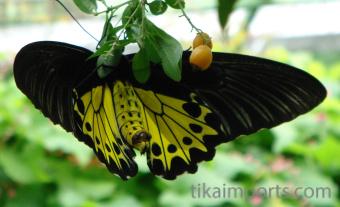 Birdwing Butterfly in Penang Butterfly Farm