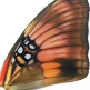 closeup, the front of a forewing of Adelpha ximena butterfly