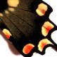 closeup, the front of a hindwing of an Atrophaneura antenor butterfly