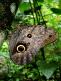 photograph of a live Caligo idomeneus butterfly