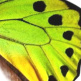 closeup, the front of a hindwing of an Ornithoptera priamus poseidon butterfly