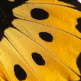 closeup, the front of a forewing of a Troides helena antileuca butterfly
