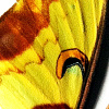 closeup of Actias maenas, Lunar Moth