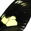 closeup, the front of a forewing of an Heliconius doris butterfly