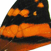 closeup, the back of a forewing of an Hypanartia lethe butterfly, also known as the Mapwing Butterfly.