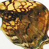 closeup, the back of a forewing of an Hypanartia lethe butterfly, also known as the Orange Admiral Butterfly.