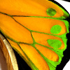 closeup, the front of a hindwing of an Ornithoptera goliath procus butterfly