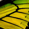 closeup, the front of a forewing of an Ornithoptera goliath procus butterfly