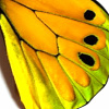 closeup, the front of a hindwing of an Ornithoptera goliath supremus butterfly