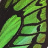 closeup, the back of a forewing of an Ornithoptera priamus poseidon butterfly