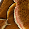 closeup, the front of a forewing of a Samia cynthia butterfly
