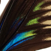 closeup, the front of a forewing of a Trogonoptera brookiana butterfly