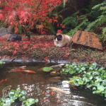 office kitty Bodhi gazing at his meditation pond